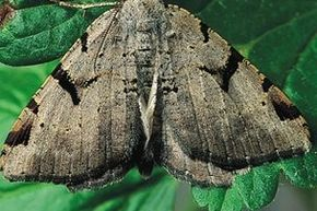 UK Moth Numbers Suffer Crash, 40-year Study Shows
