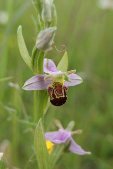 Orchid Surveys