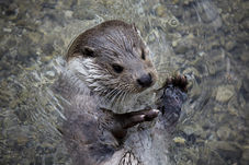 Otter Surveys