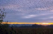 RSPB Reveals Starling Decline image #1